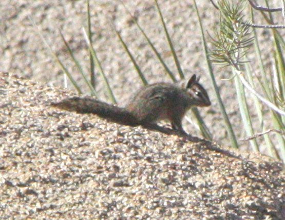 The average litter size of a California chipmunk is 3