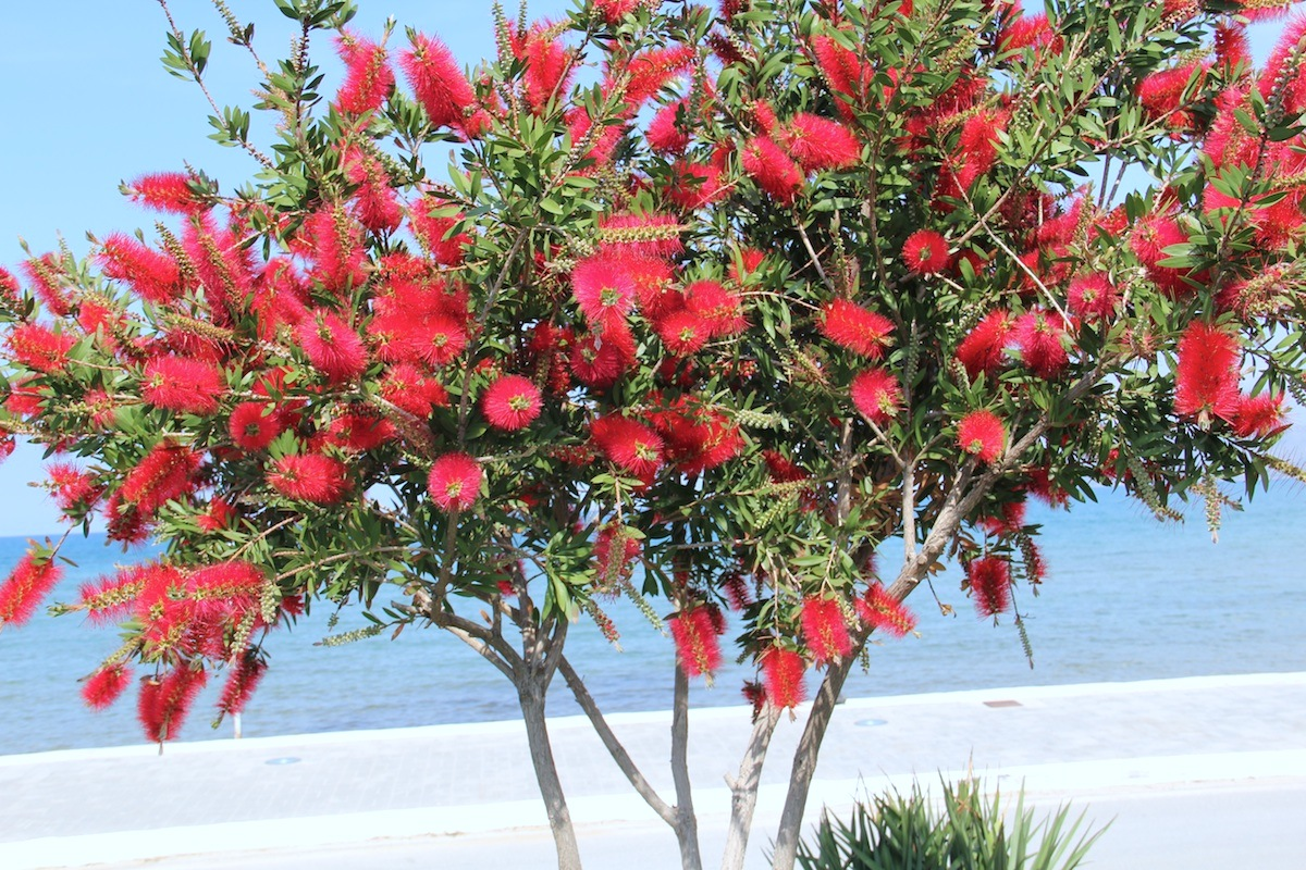 File callistemon citrinus wikimedia commons for Plante rince bouteille