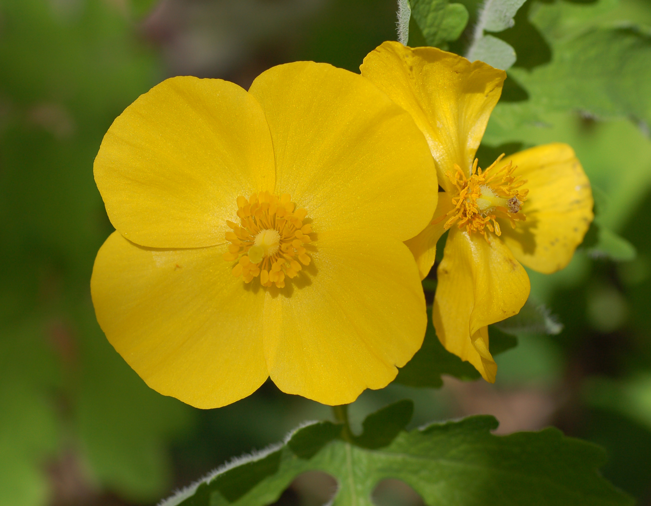 File Celandine Poppy Stylophorum diphyllum Flower Crop