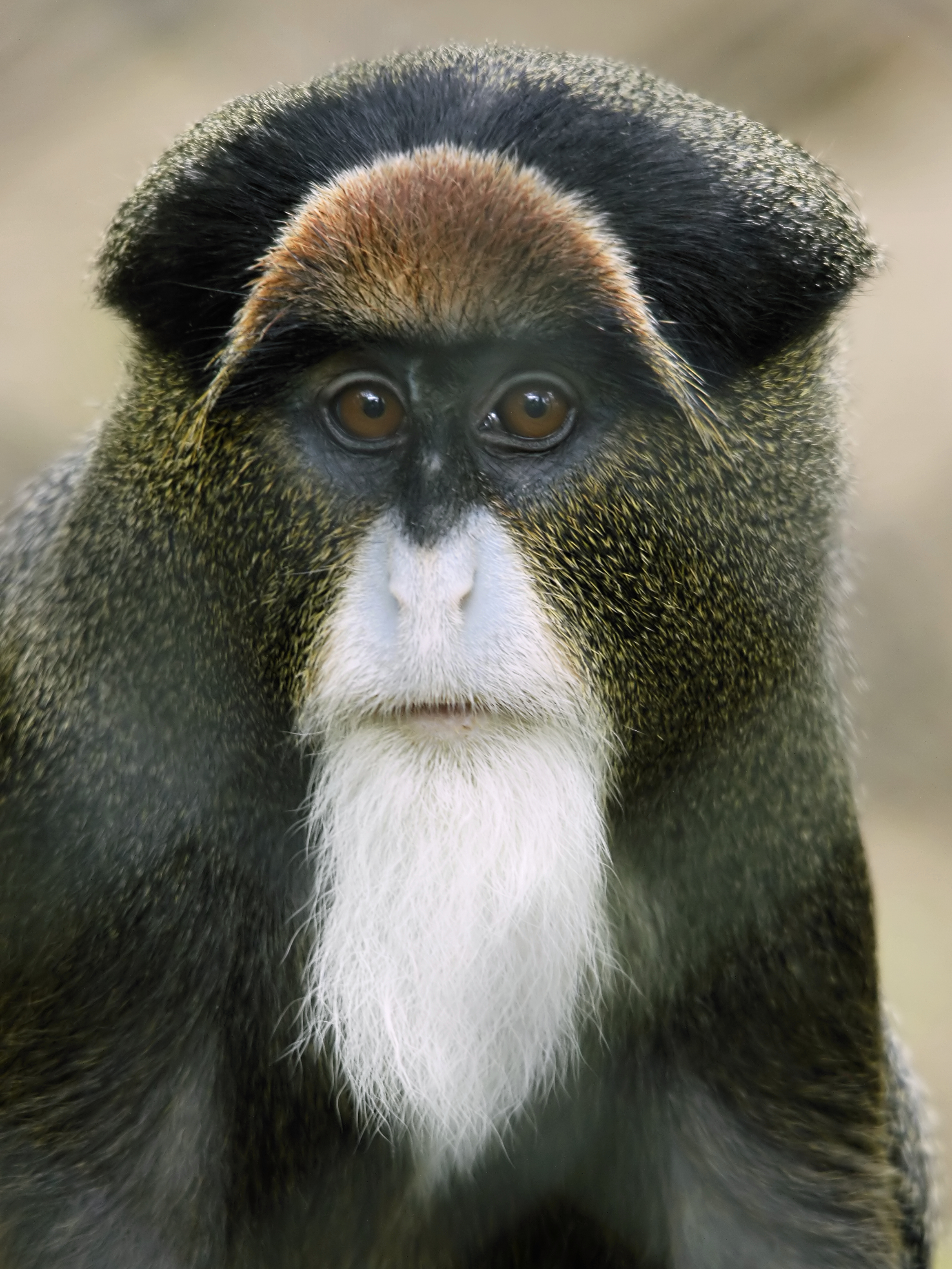 https://upload.wikimedia.org/wikipedia/commons/e/e1/Cercopithecus_neglectus.jpg