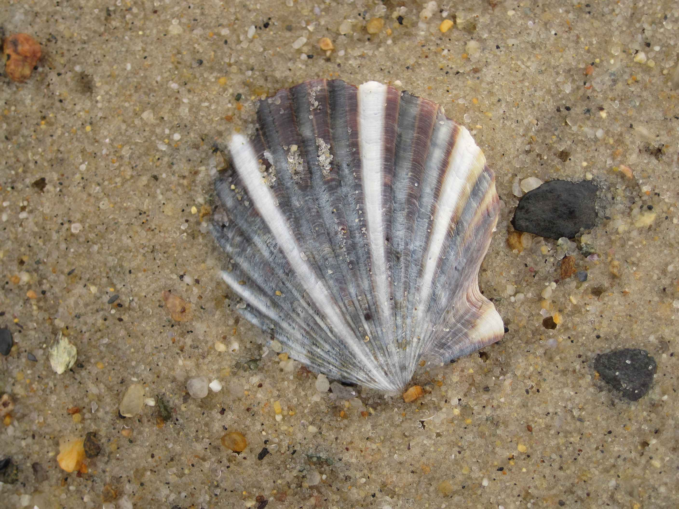 FileColorfull ocean shell in sandjpg Wikimedia Commons