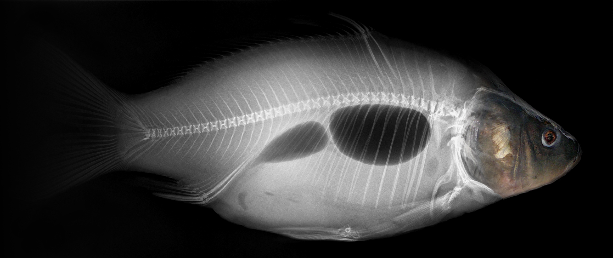 Datei:Common carp x-ray.jpg – Wikipedia