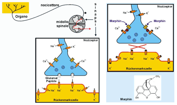 Neurotrasmettitori intorno alle sinapsi spinali