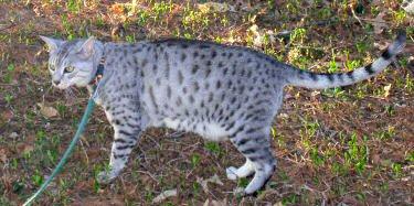 египетская кошка википедия