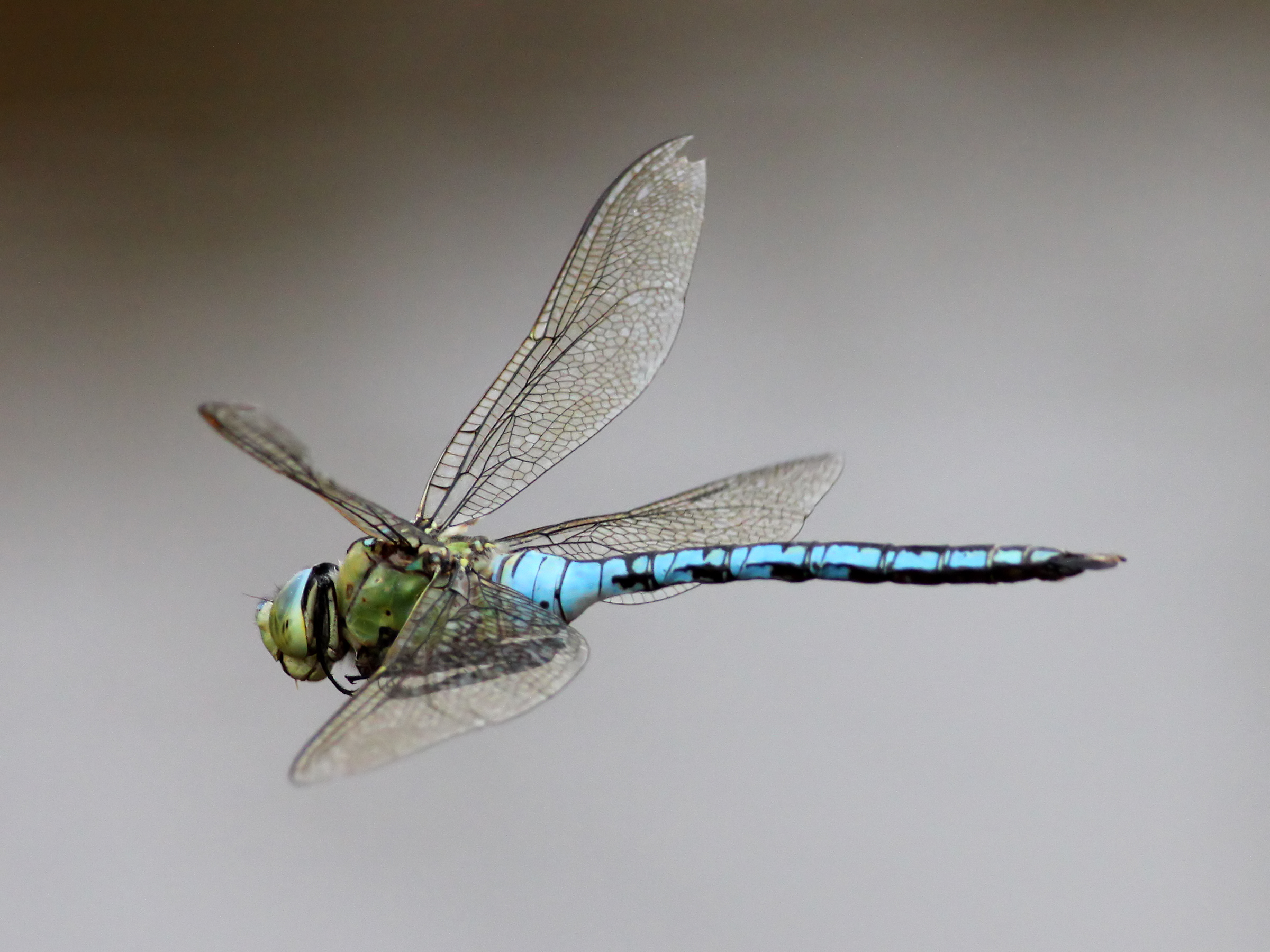 English: Emperor Dragonfly (Anax imperator). F...