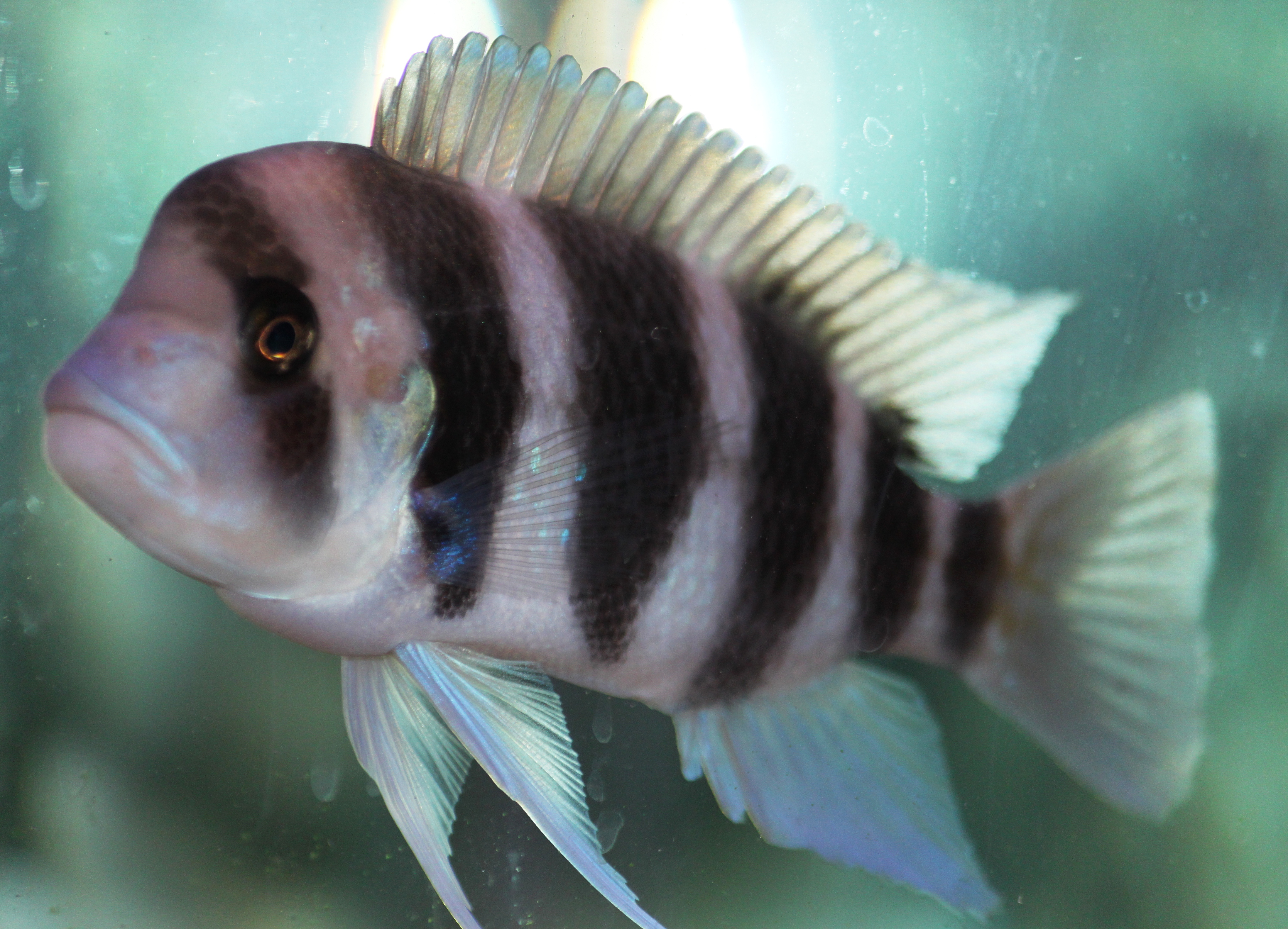The frontosa cichlid my aquarium club for Black and white striped fish freshwater