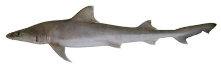 File:Hemigaleus australiensis csiro-nfc.jpg