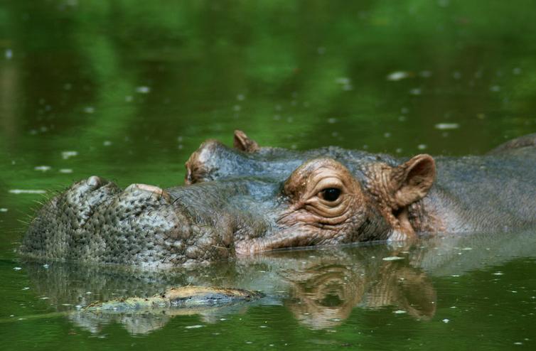 Hippopotamus-1.jpg