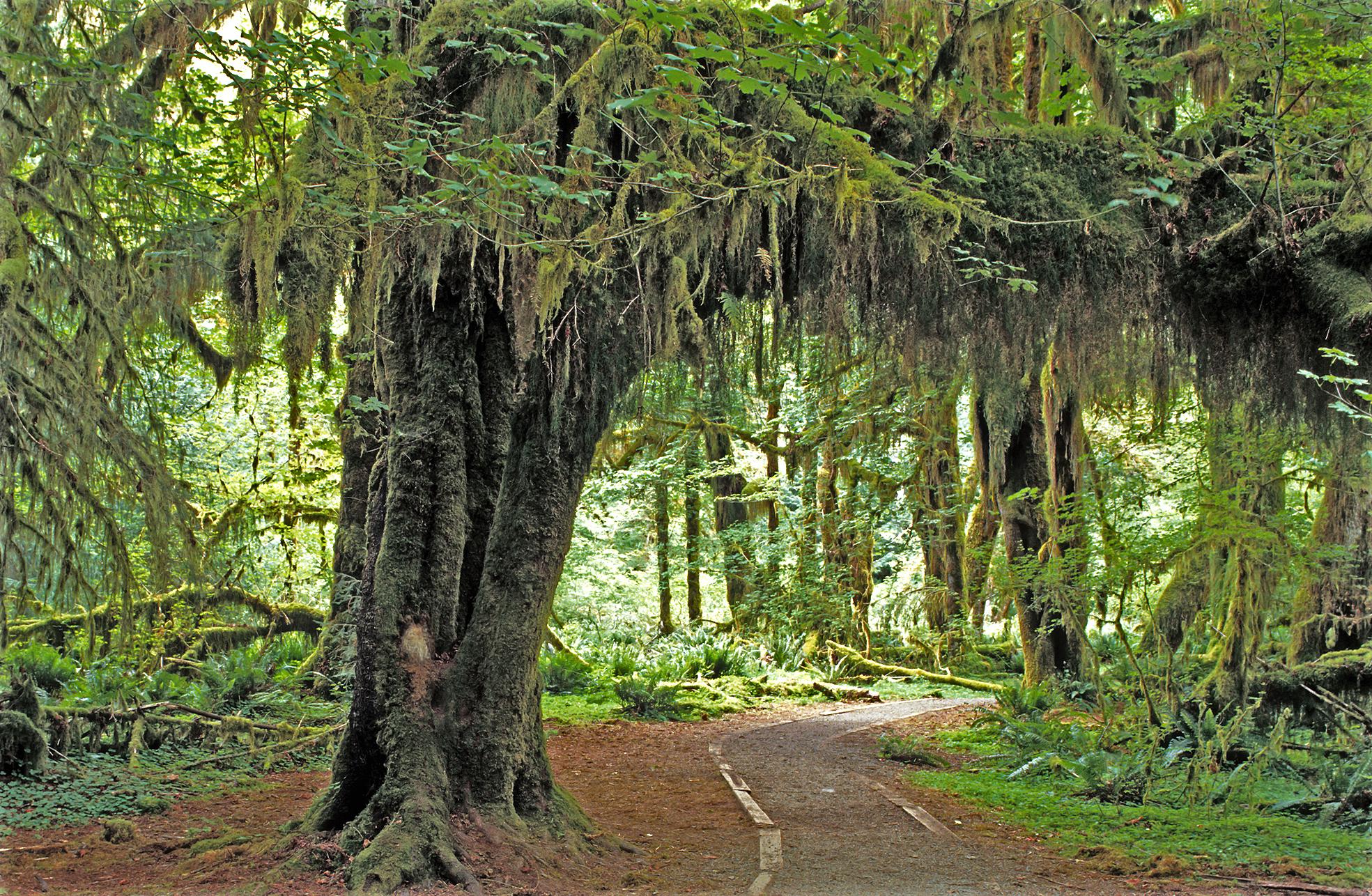 Hoh Rain Forest, Olympic National Park, Washington State, 1992.JPG