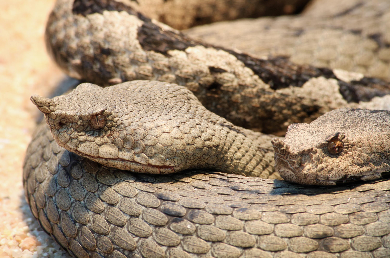 File:Hornotter Vipera ammodytes.jpg - Wikimedia Commons