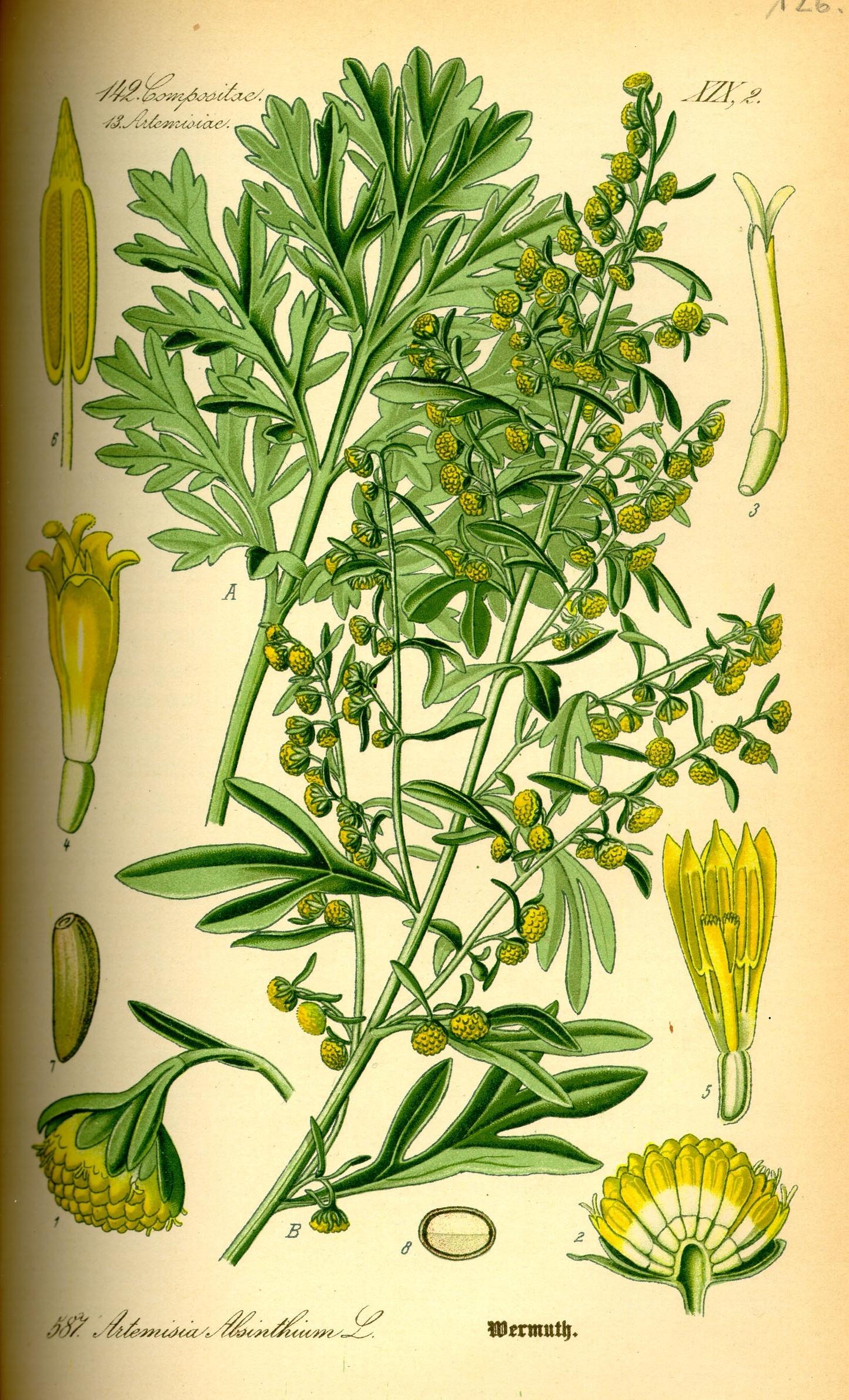 A botanical illustration of wormwood.
