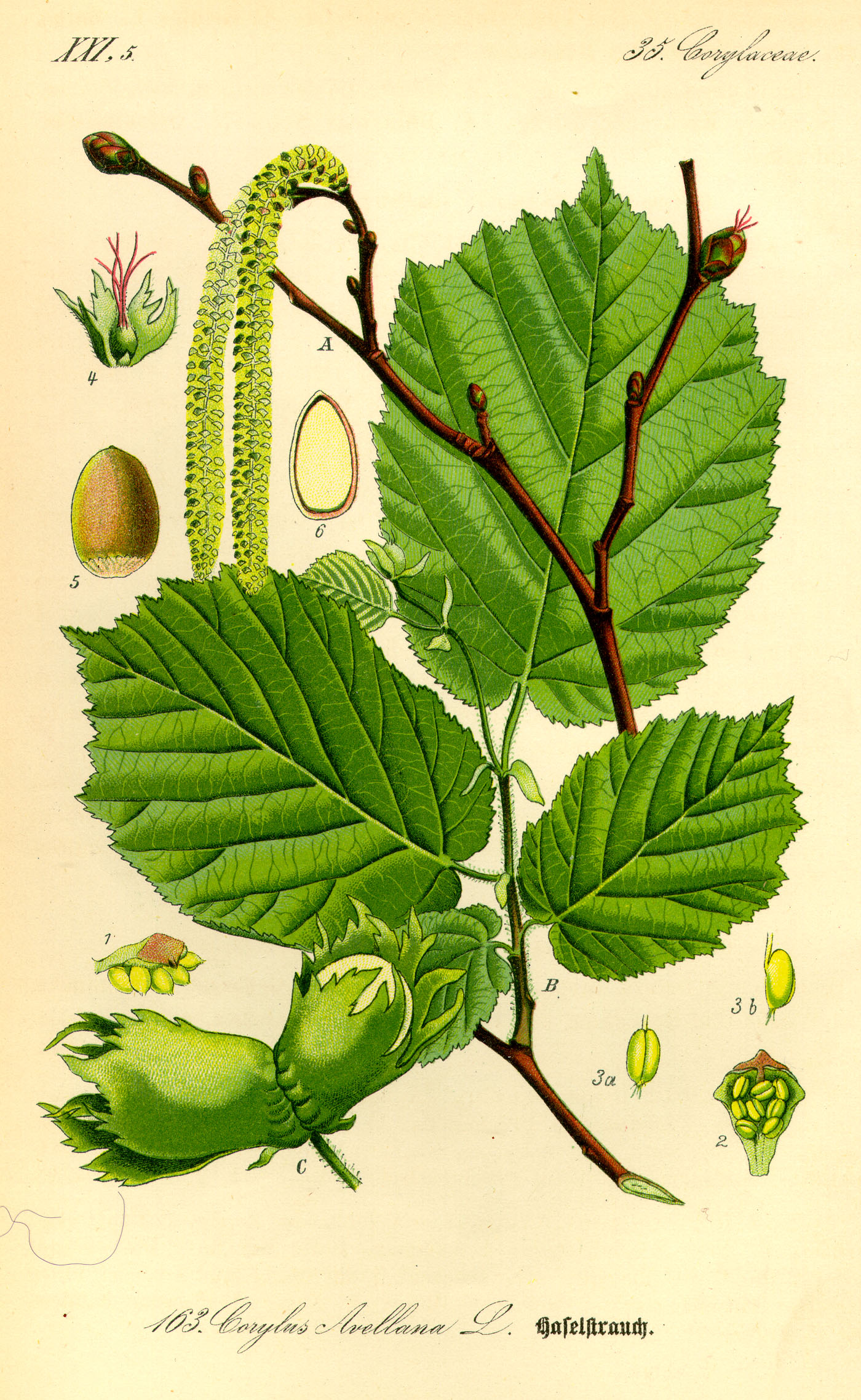 File:Illustration Corylus avellana0.jpg - Wikipedia, the free ...