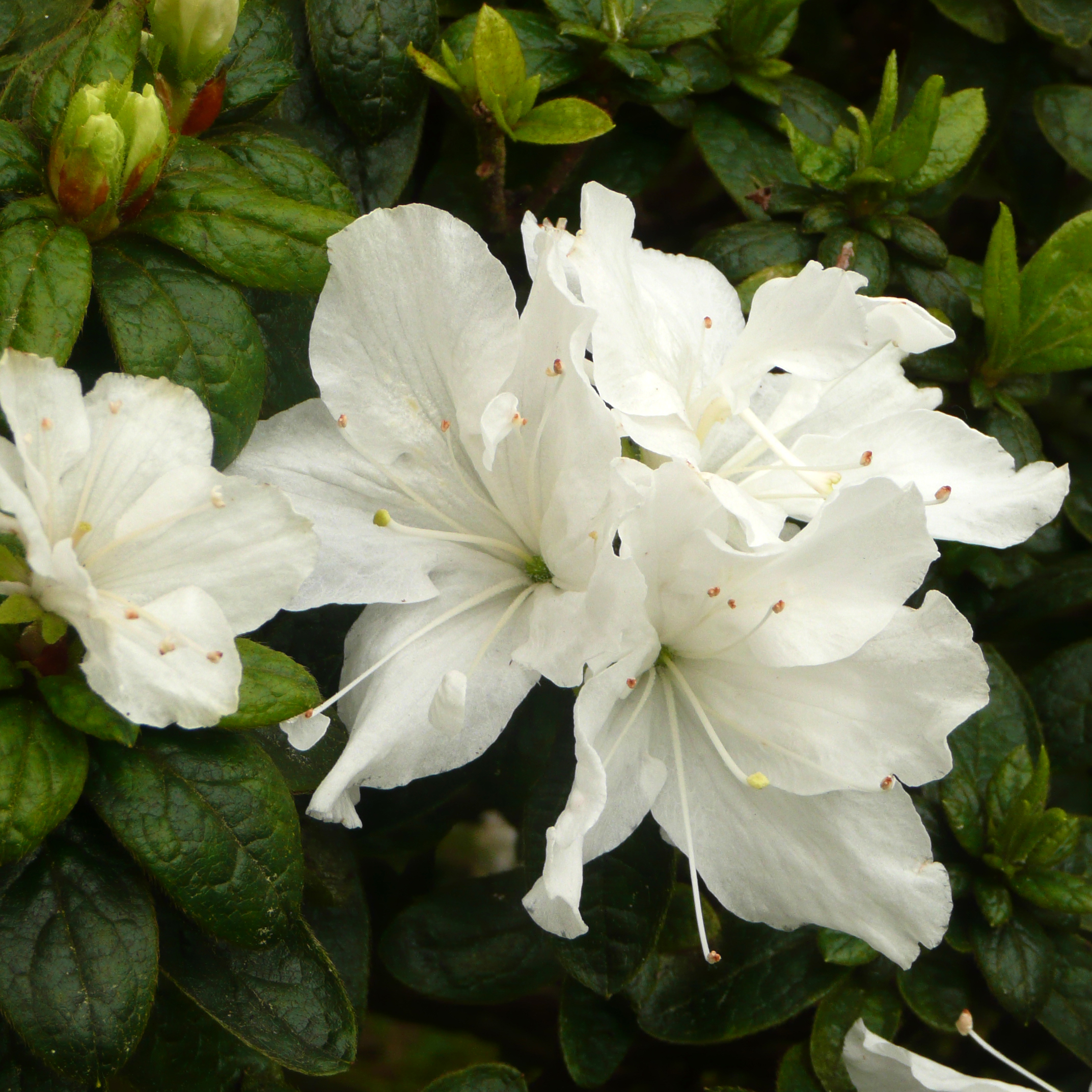 File Japanese Gardens Flowers 3 Wikimedia mons