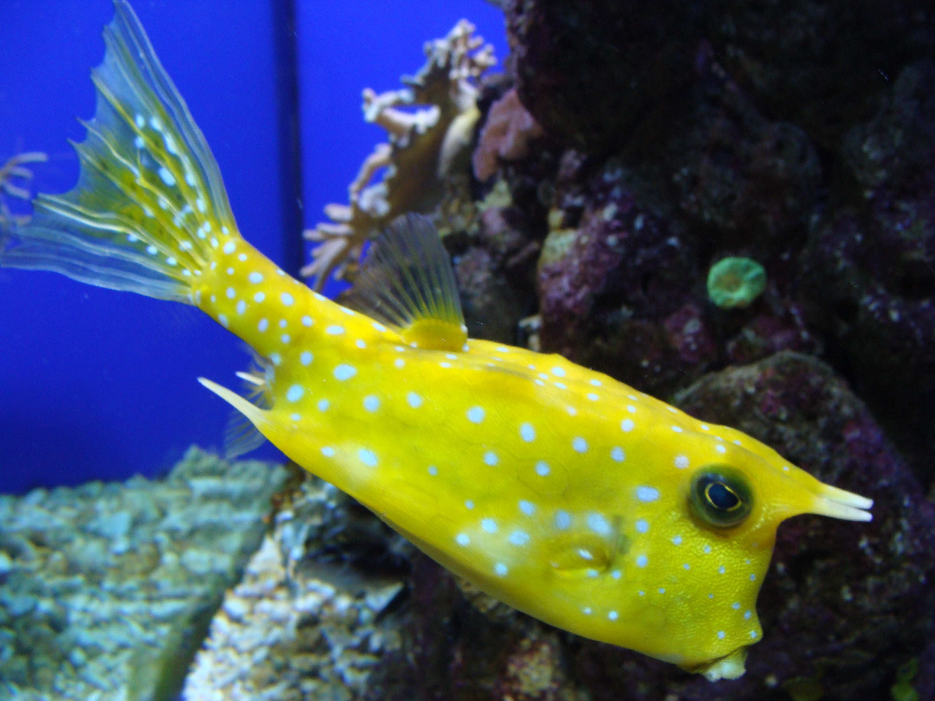 File:Lactoria cornuta.002 - Aquarium Finisterrae.JPG - Wikipedia