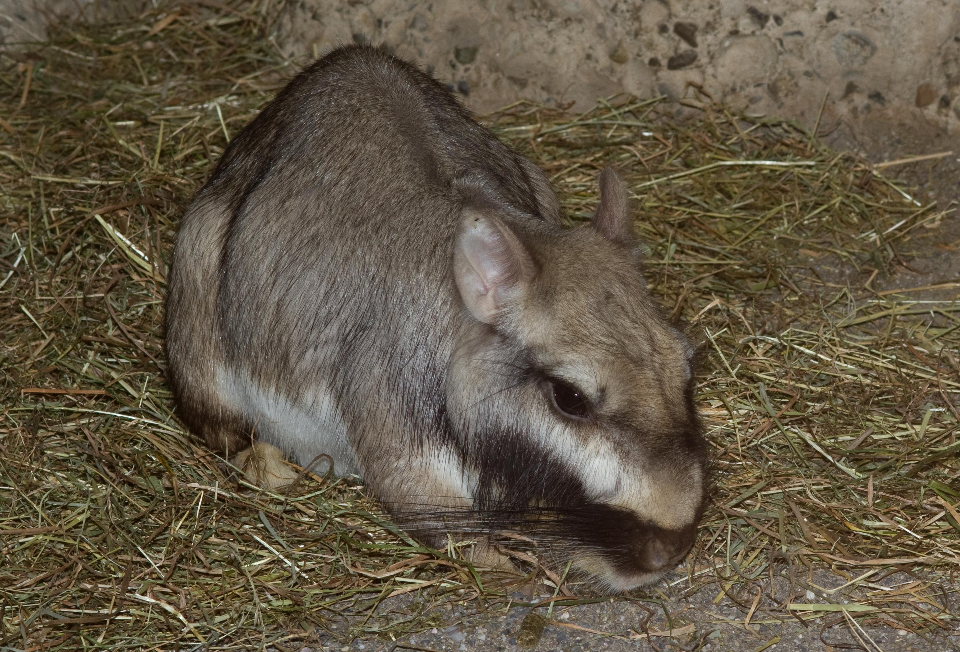 https://upload.wikimedia.org/wikipedia/commons/e/e1/Lagostomus_maximus%2C_Plains_Viscacha.jpg