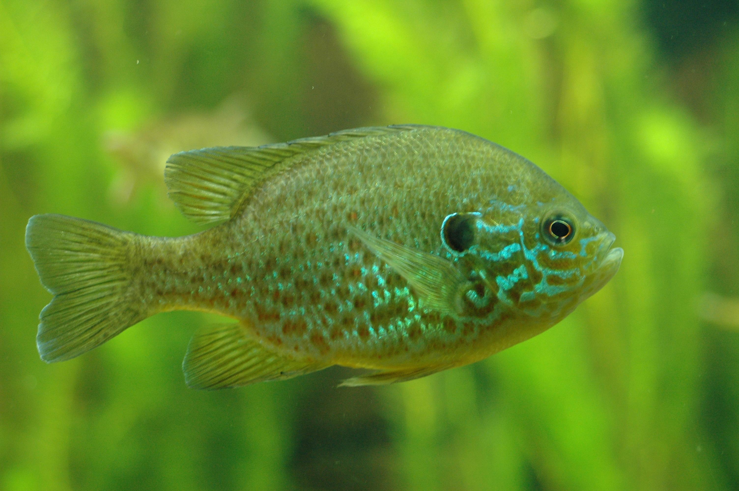 Sunfish  New World Encyclopedia