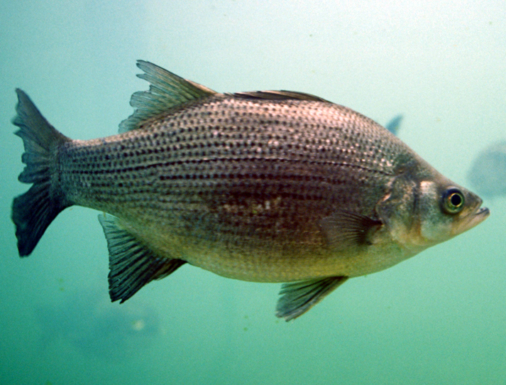 White Bass swimming in a school of others in deep water.