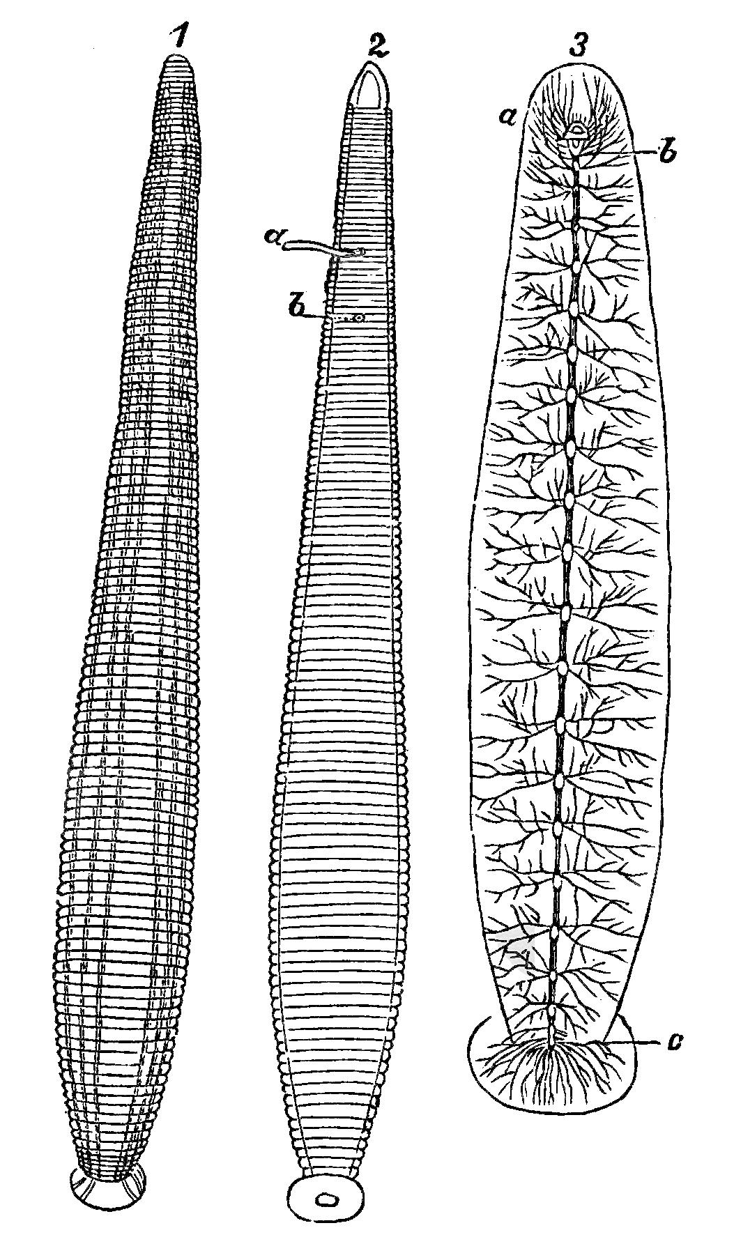 File:PSM V17 D495 The medicinal leech.jpg - Wikimedia Commons