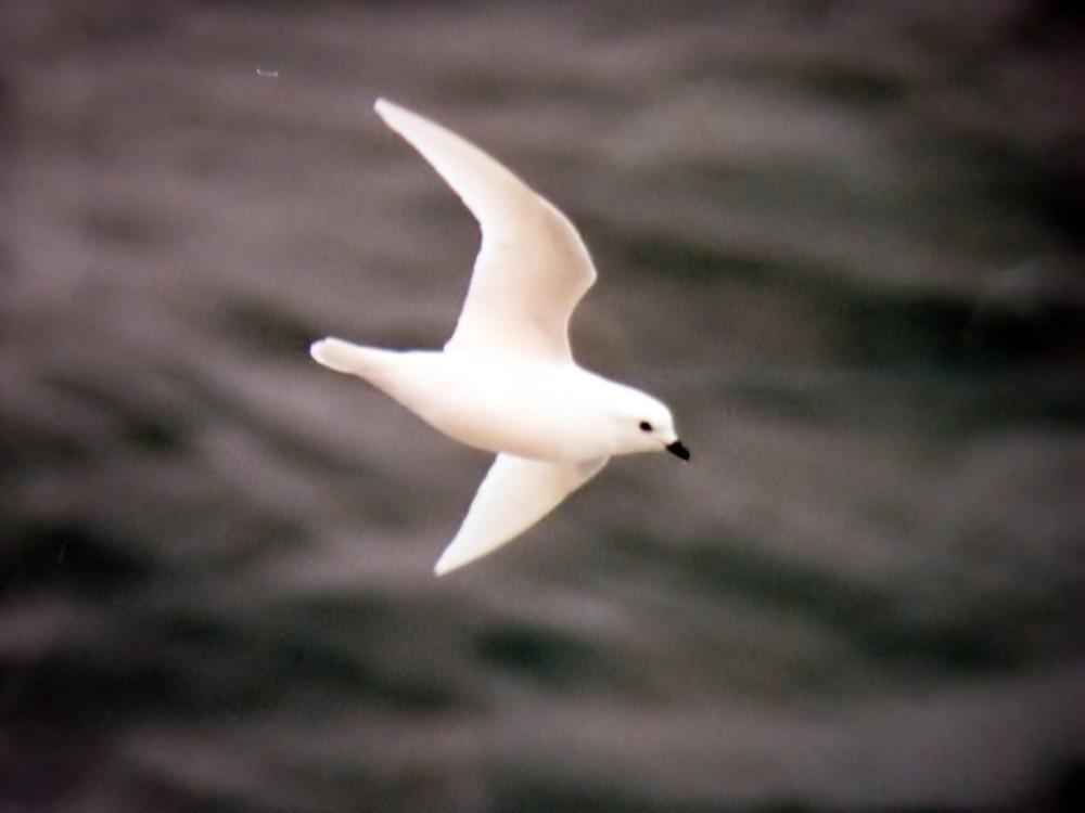 Pagodroma nivea wikip dia a enciclop dia livre - Jeux d oiseau qui vole ...