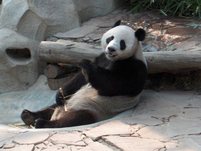 File:Panda at ChiangMai zoo-KayEss-1.jpeg