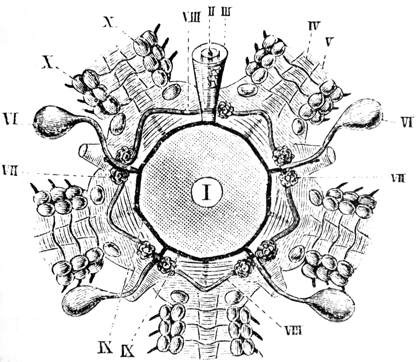 File:Part of starfish water vascular system.jpg - Wikimedia Commons