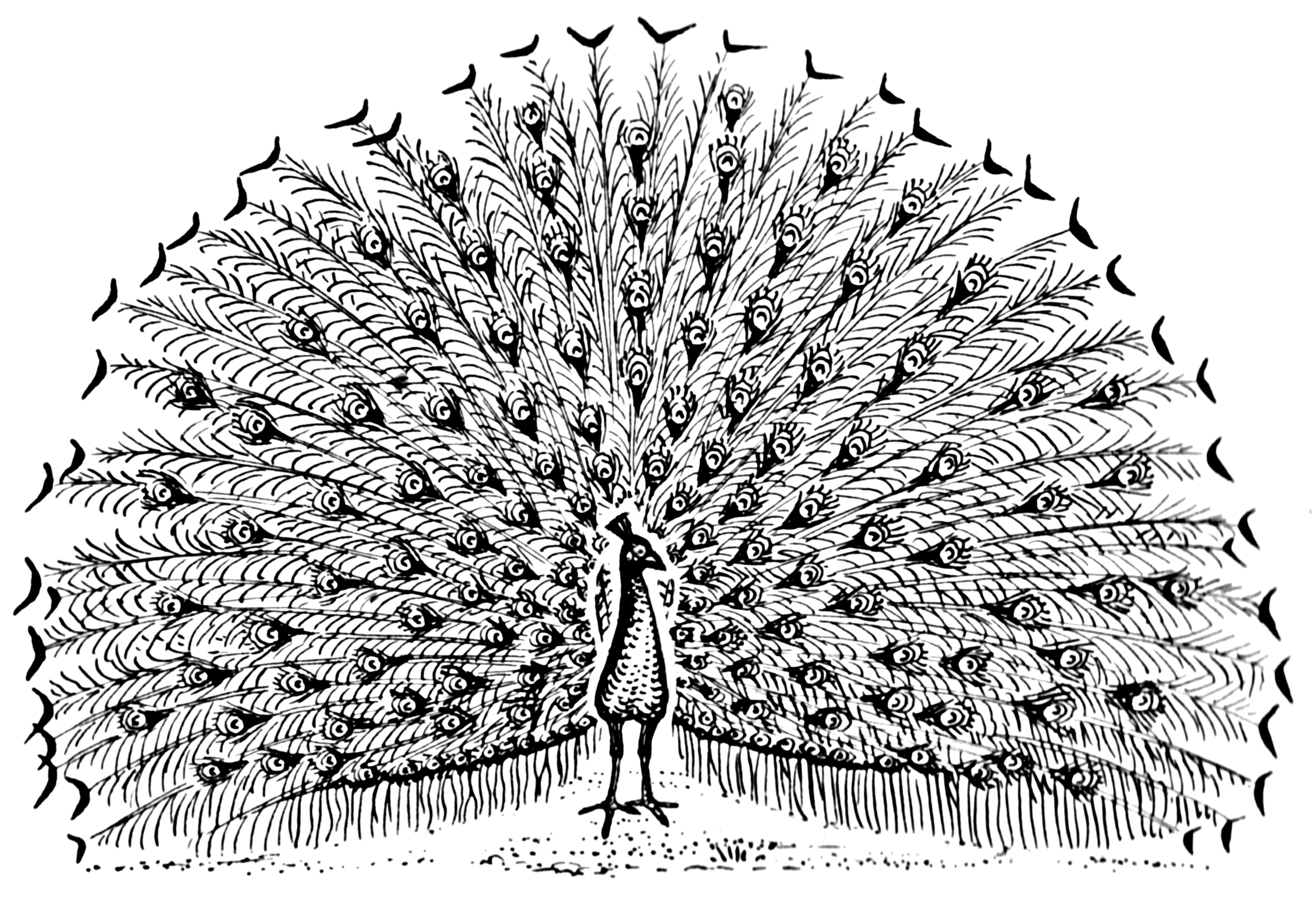 Line Drawing Wiki : File peacock psf wikimedia commons