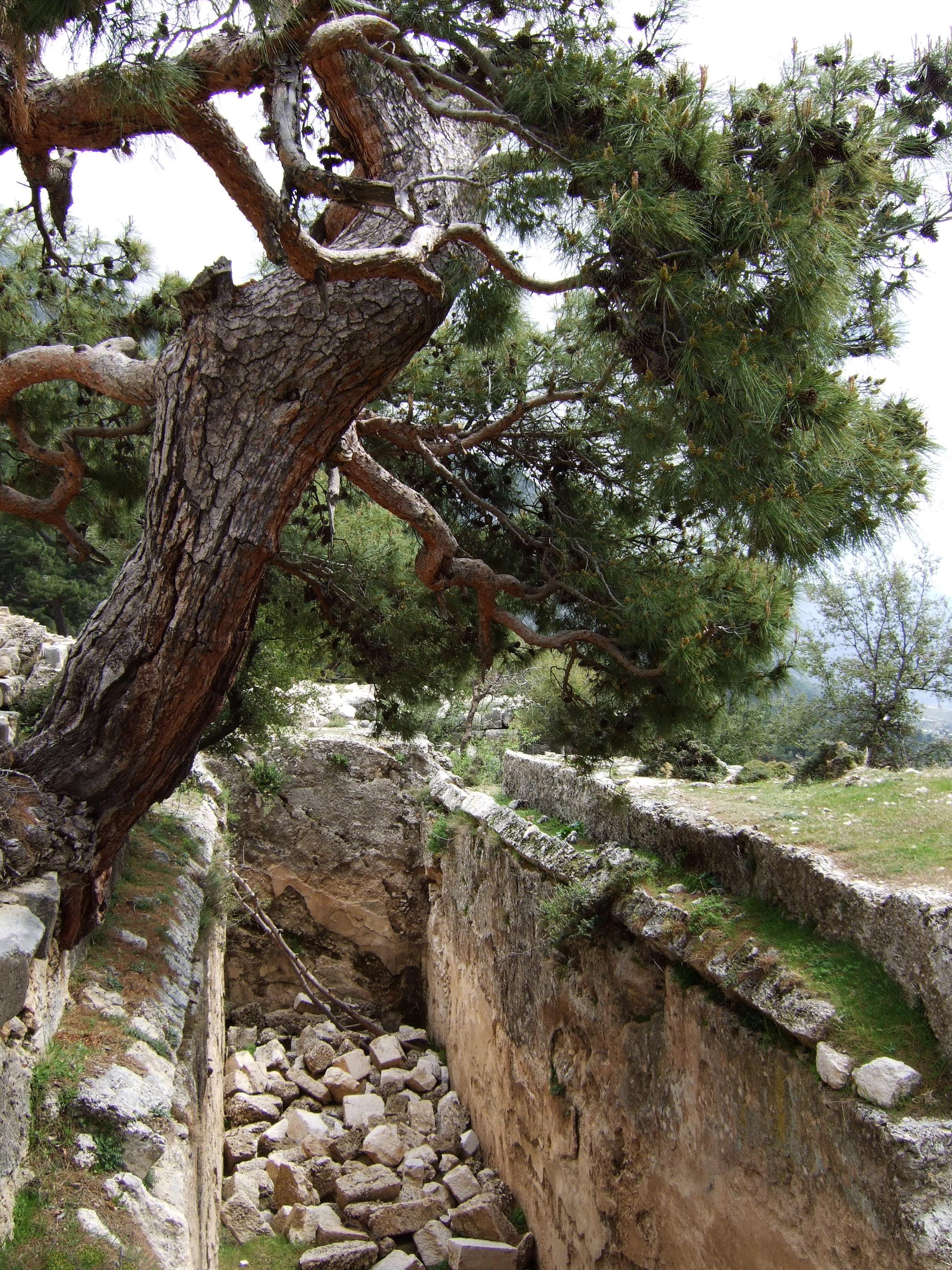 File:Pinus brutia Arykanda 2.jpg - Wikimedia Commons