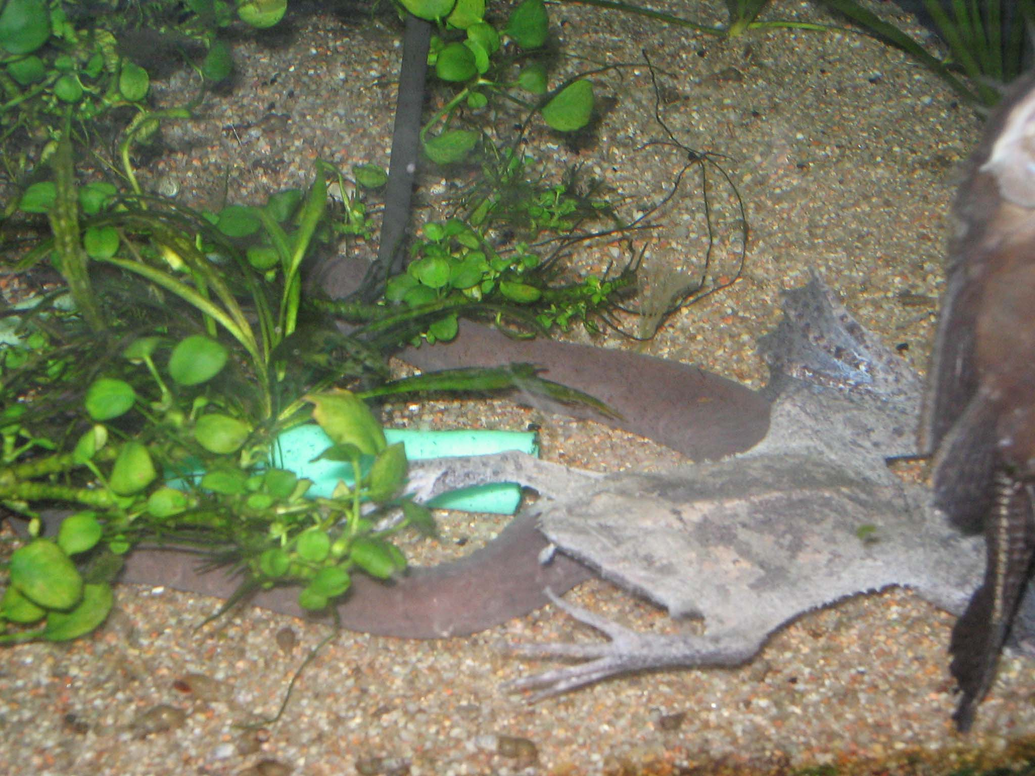 Rubber Eel : Typhlonectes natans