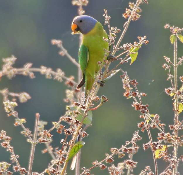 Plum-headed Parakeet in ficus