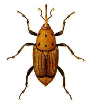 Rhynchophorus_ferrugineus.jpg