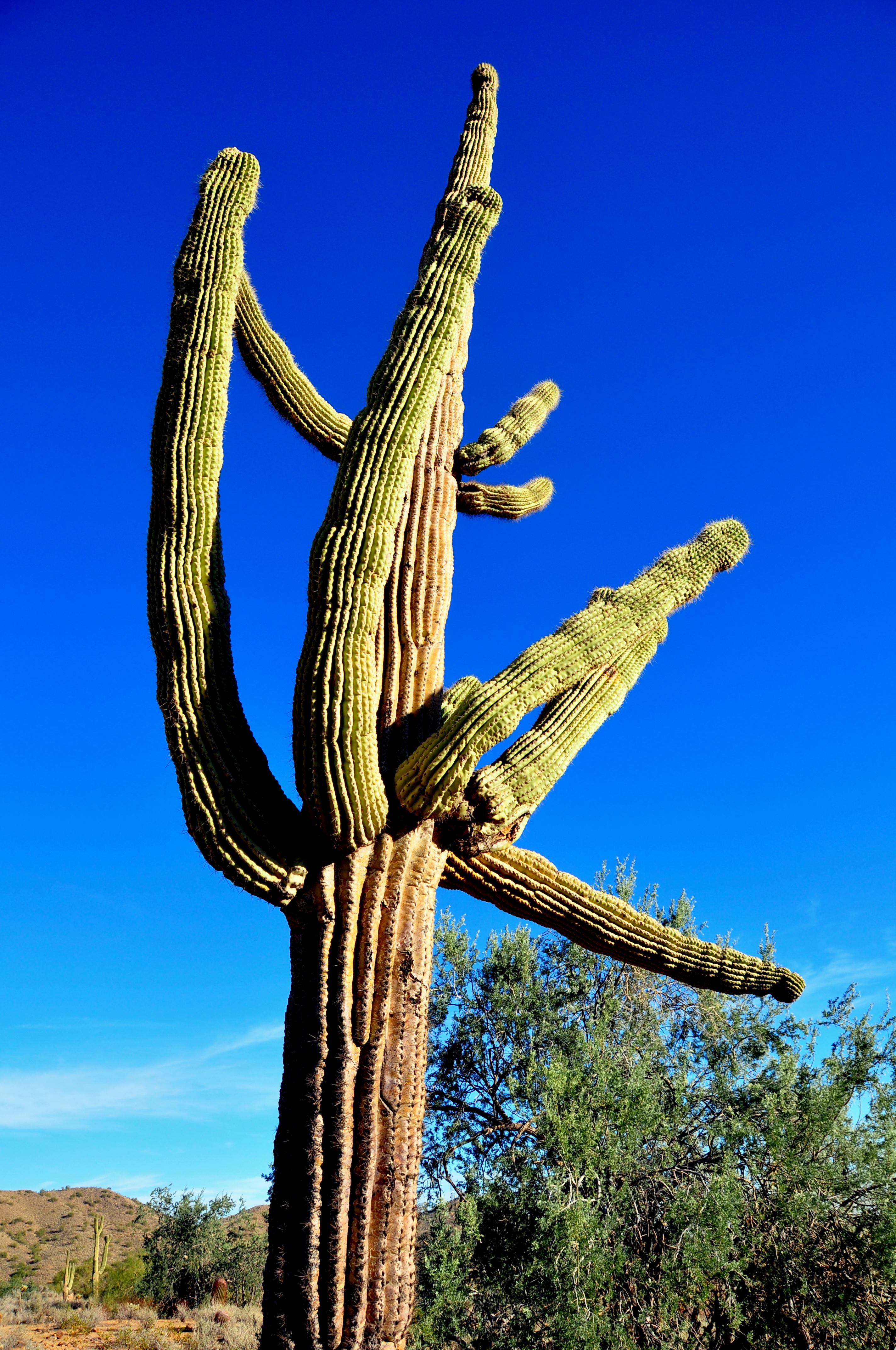 Saguaro Cactus (gigantea)