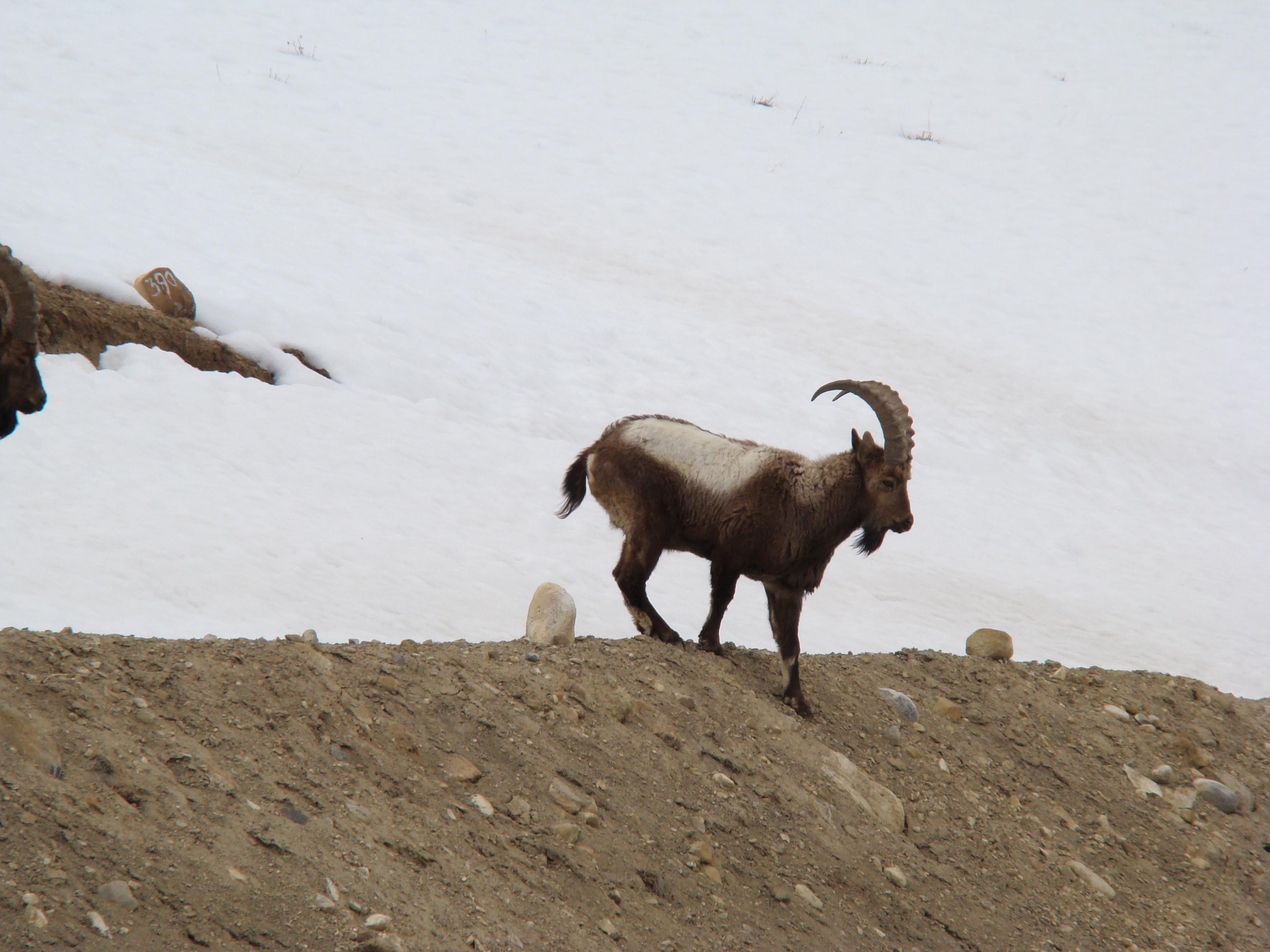 File:Siberian ibex (Capra sibirica) 01.JPG