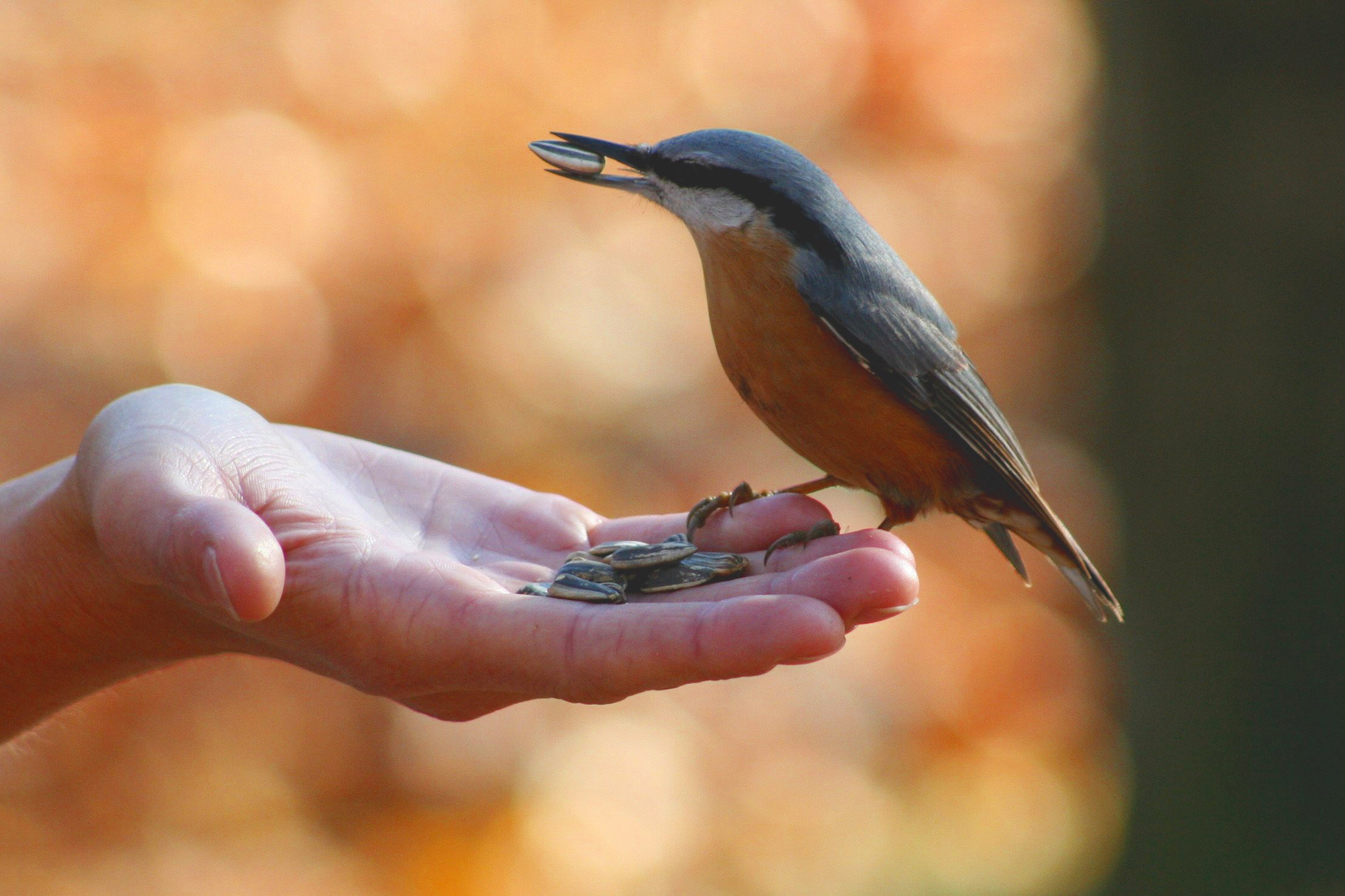 A wood nuthatch sitting in someone's hand eating sunflower seeds