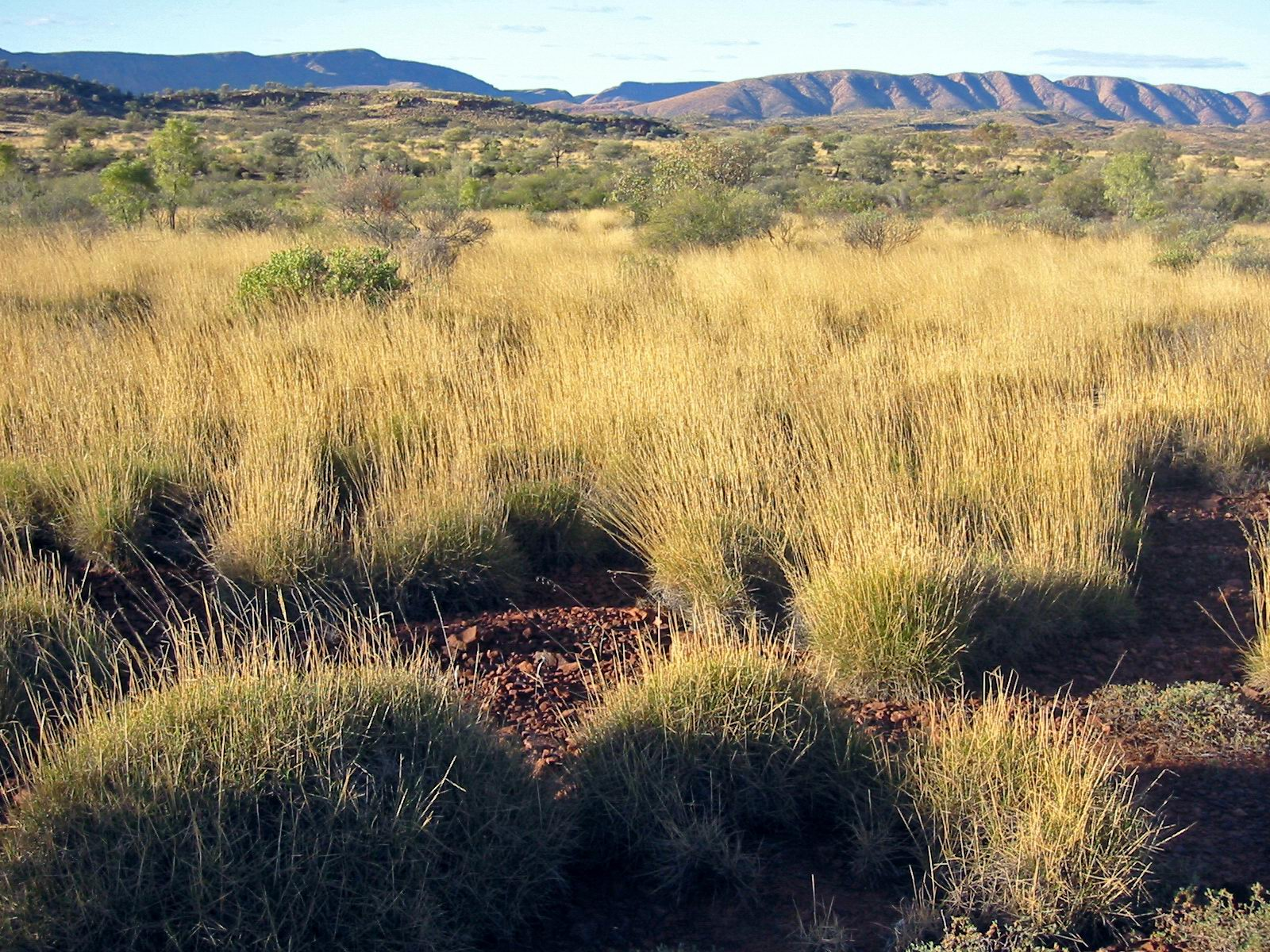 File:Spinifex S... African Grasslands Plants