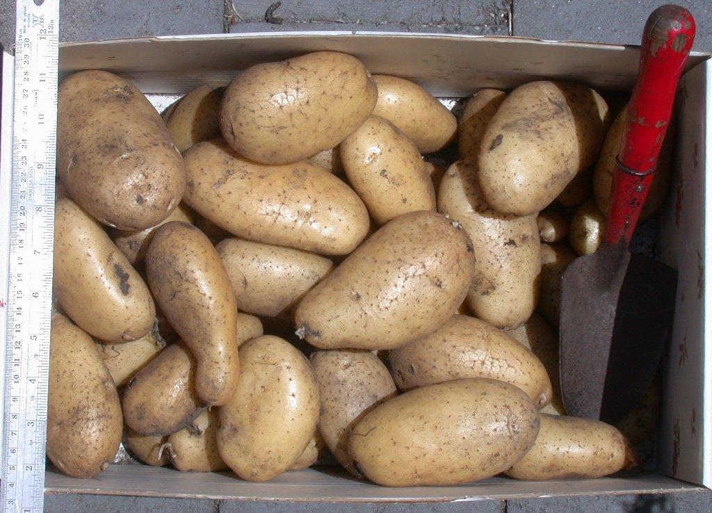 plants de pommes de terre