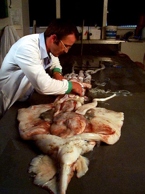 File Steve O Shea Dissecting Squid Jpg Wikimedia Commons