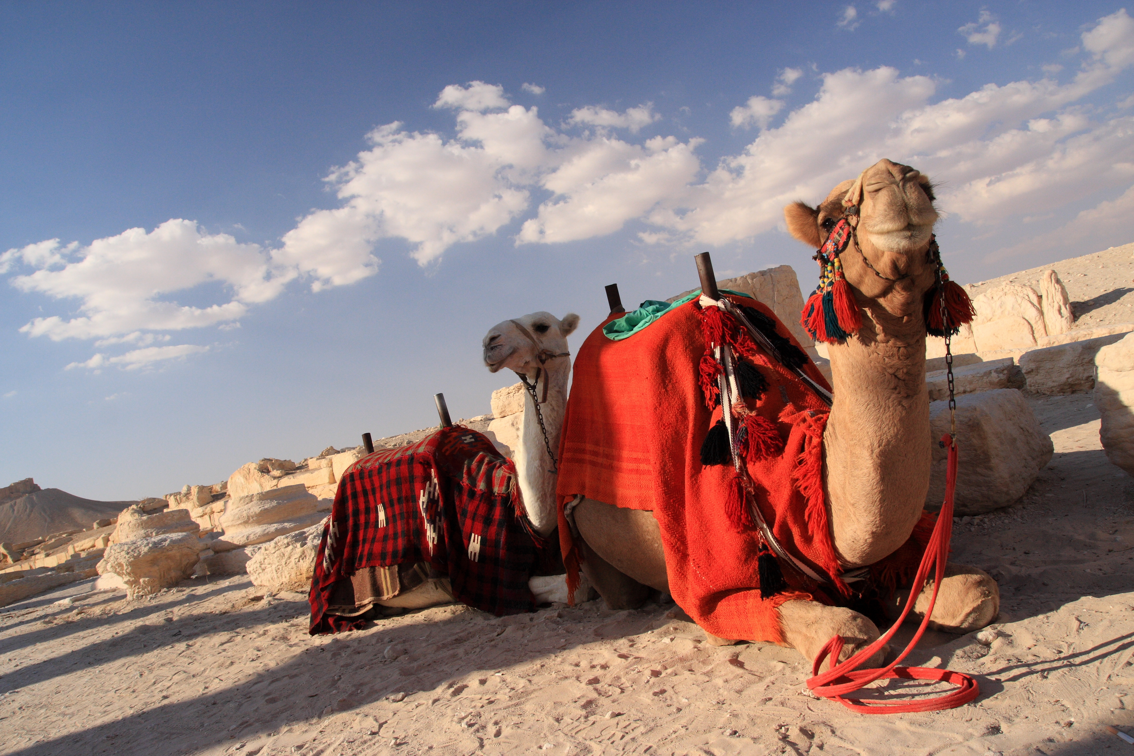 File Tourist Camels Palmyra Syria Jpg Wikimedia Commons