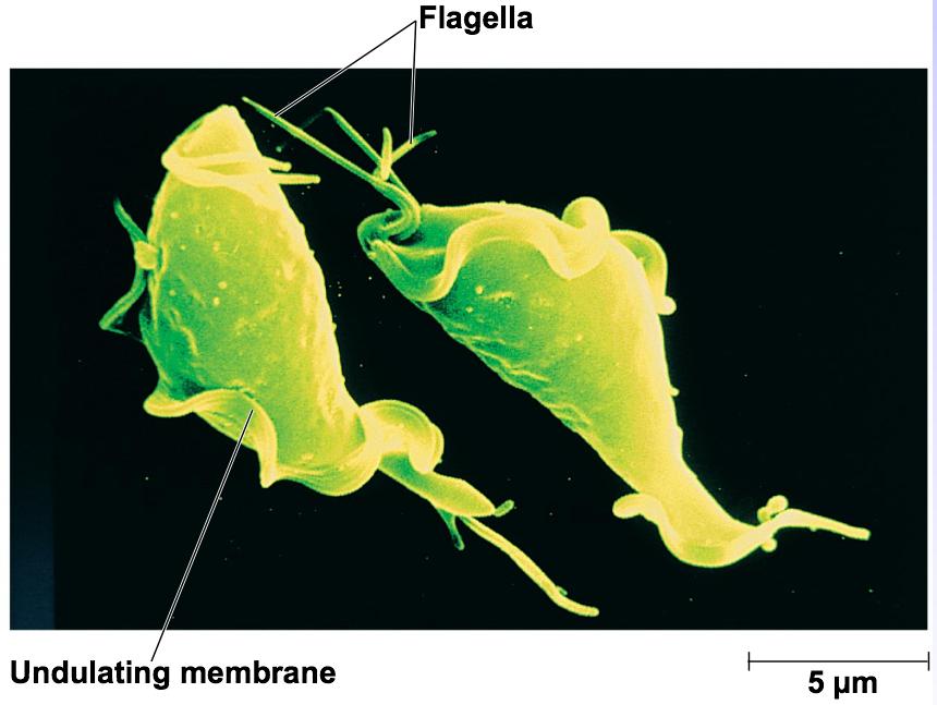 A Trichomonas flagellátus az bajusz férgek