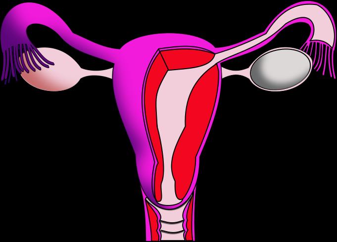File Uterus Png