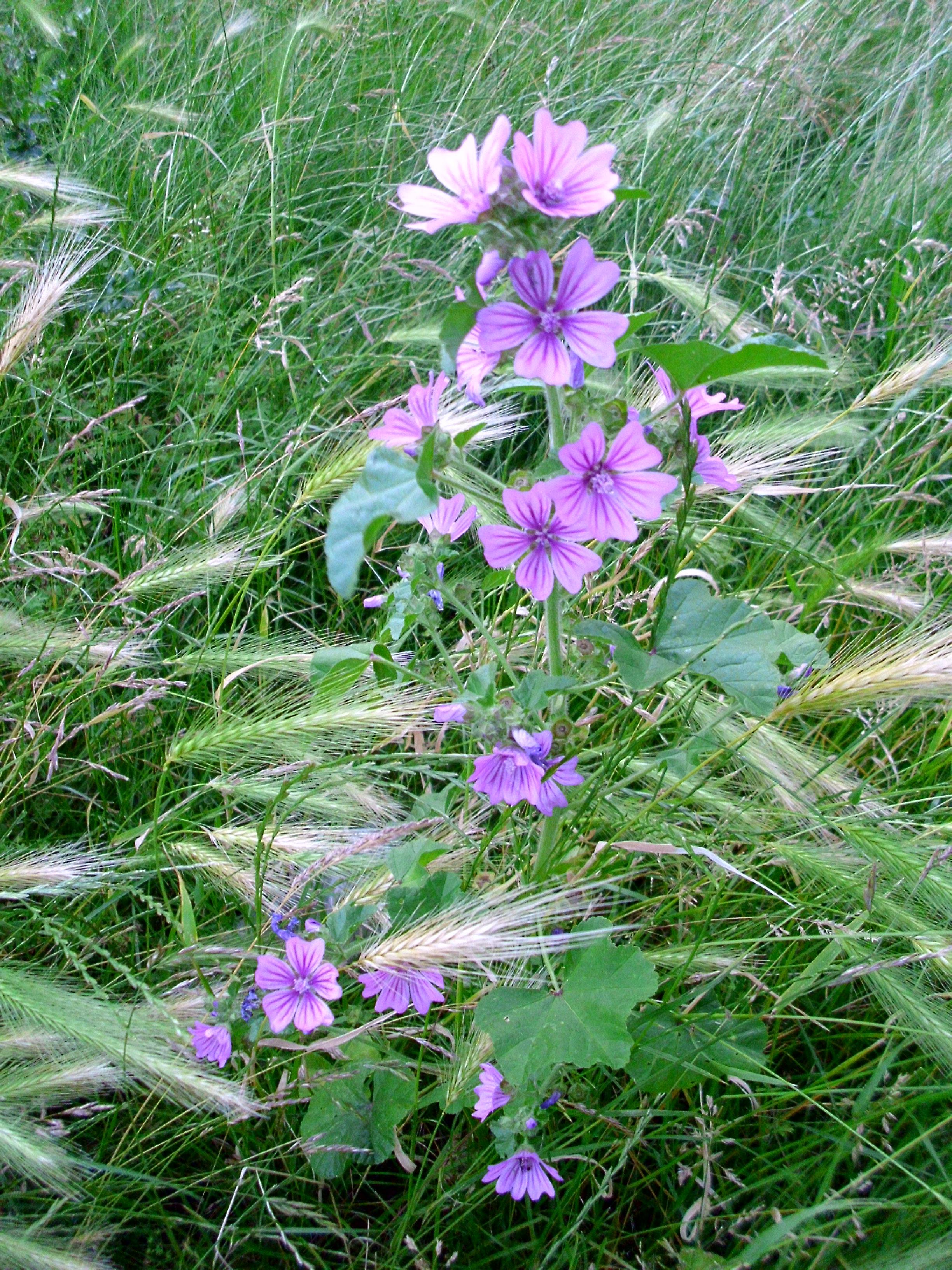 Malva Planta Wikipedia La Enciclopedia Libre