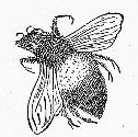 Vintage Bee Drawing