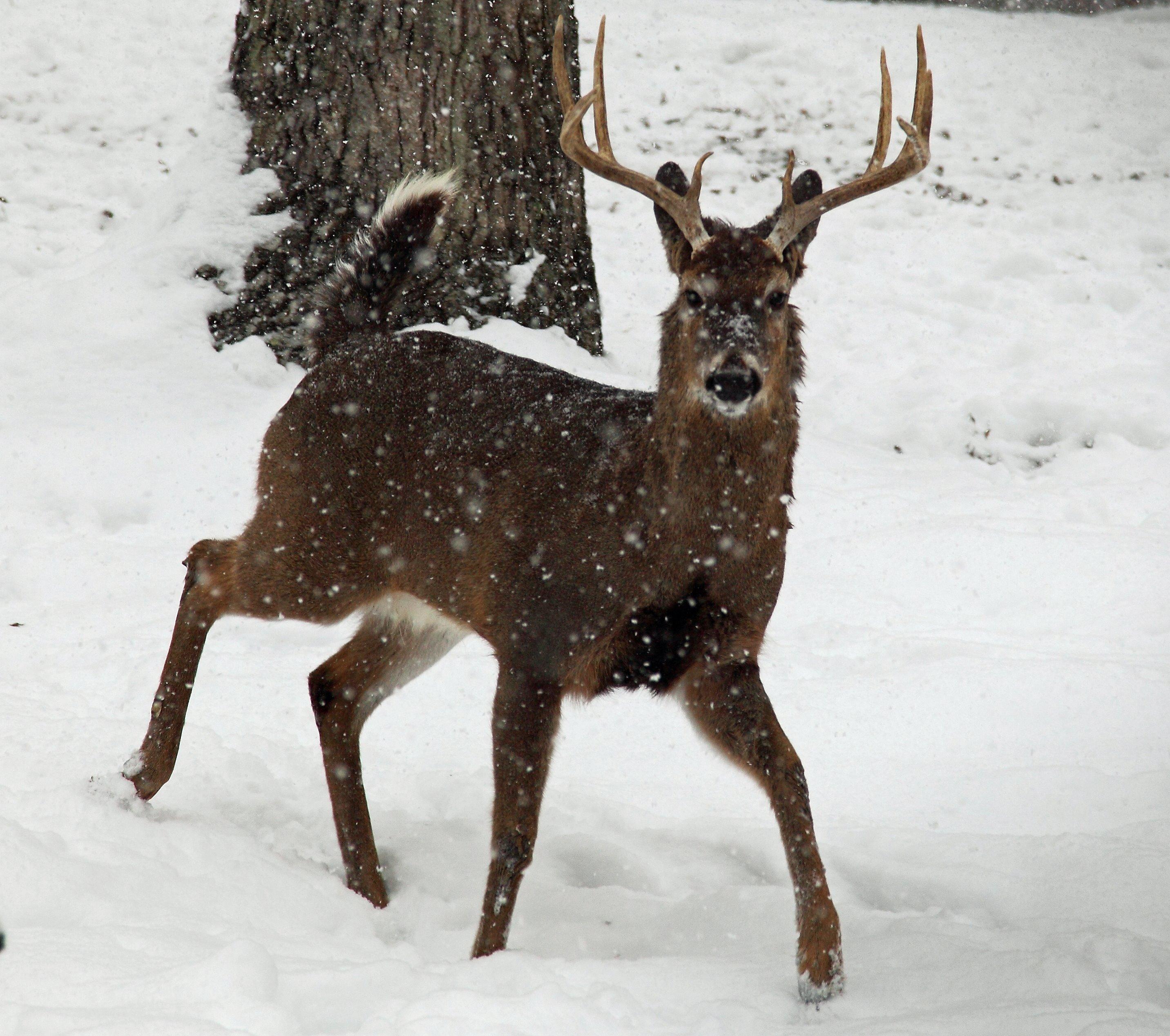 Whitetail-deer-buck-snow-falling_-_West_Virginia_-_ForestWander.jpg