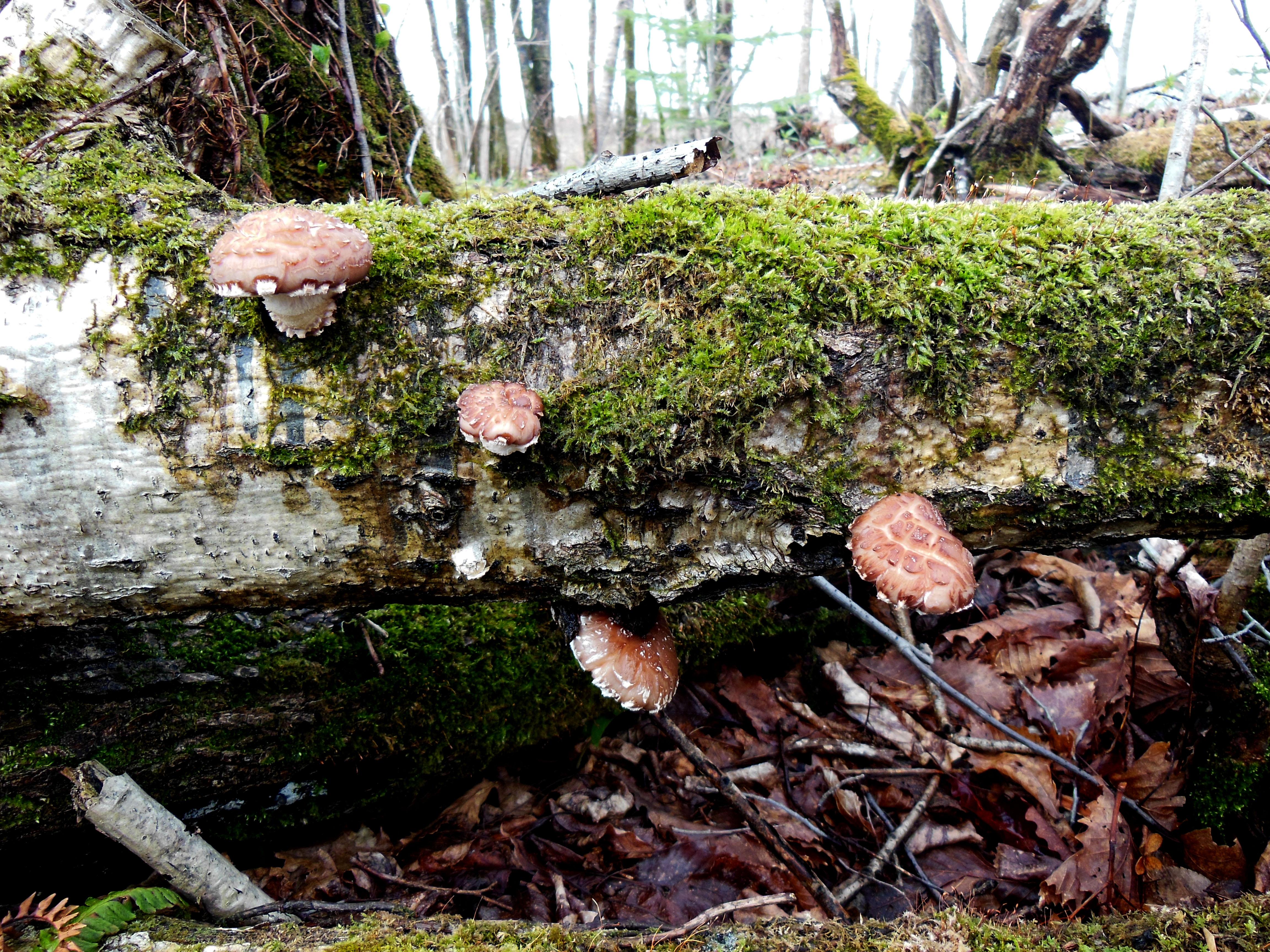 Wild Shiitake-Mushroom Japan.JPG
