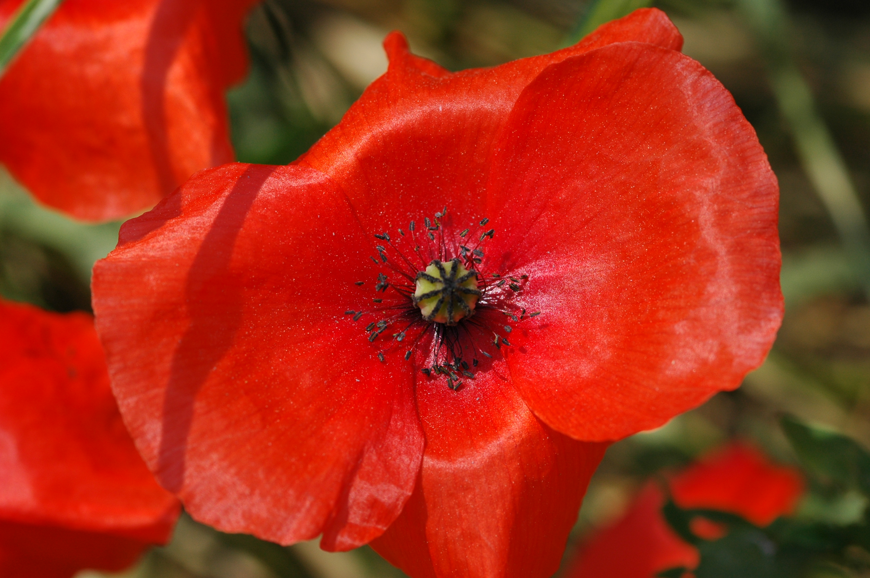 file 2010 06 29 32 red poppy klatsch mohn papaver rhoeas jpg wikimedia commons. Black Bedroom Furniture Sets. Home Design Ideas