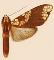 <i>Aemilia</i> (moth) Genus of moths