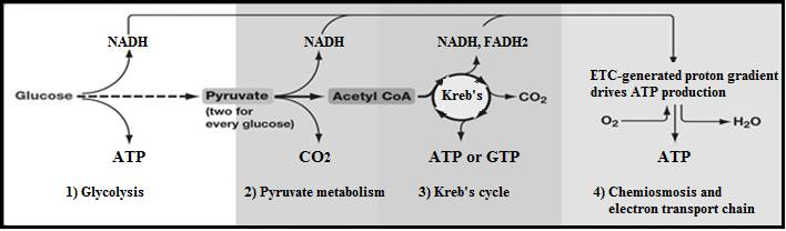 This infographic shows the conversion of glucose through the different biochemical processes.