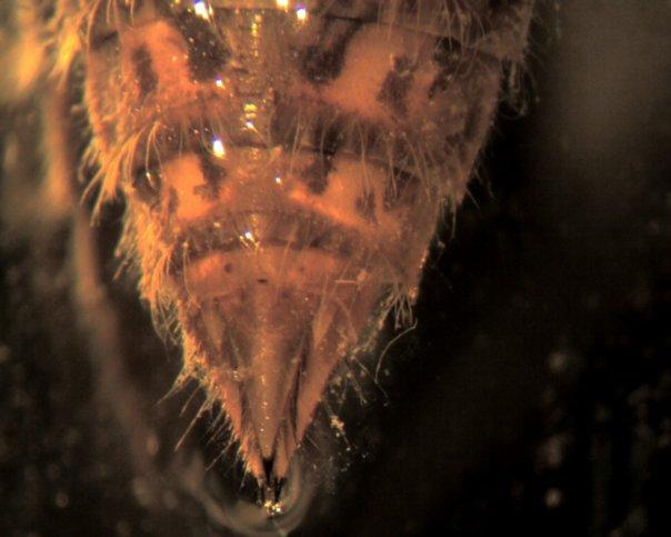 File:Aeshnidae Abdomen.jpg