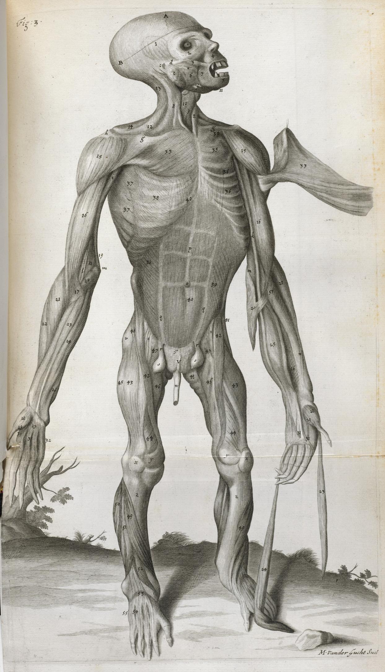 File:Anatomical drawing - Orang-Outang, sive Homo Sylvestris (1699),