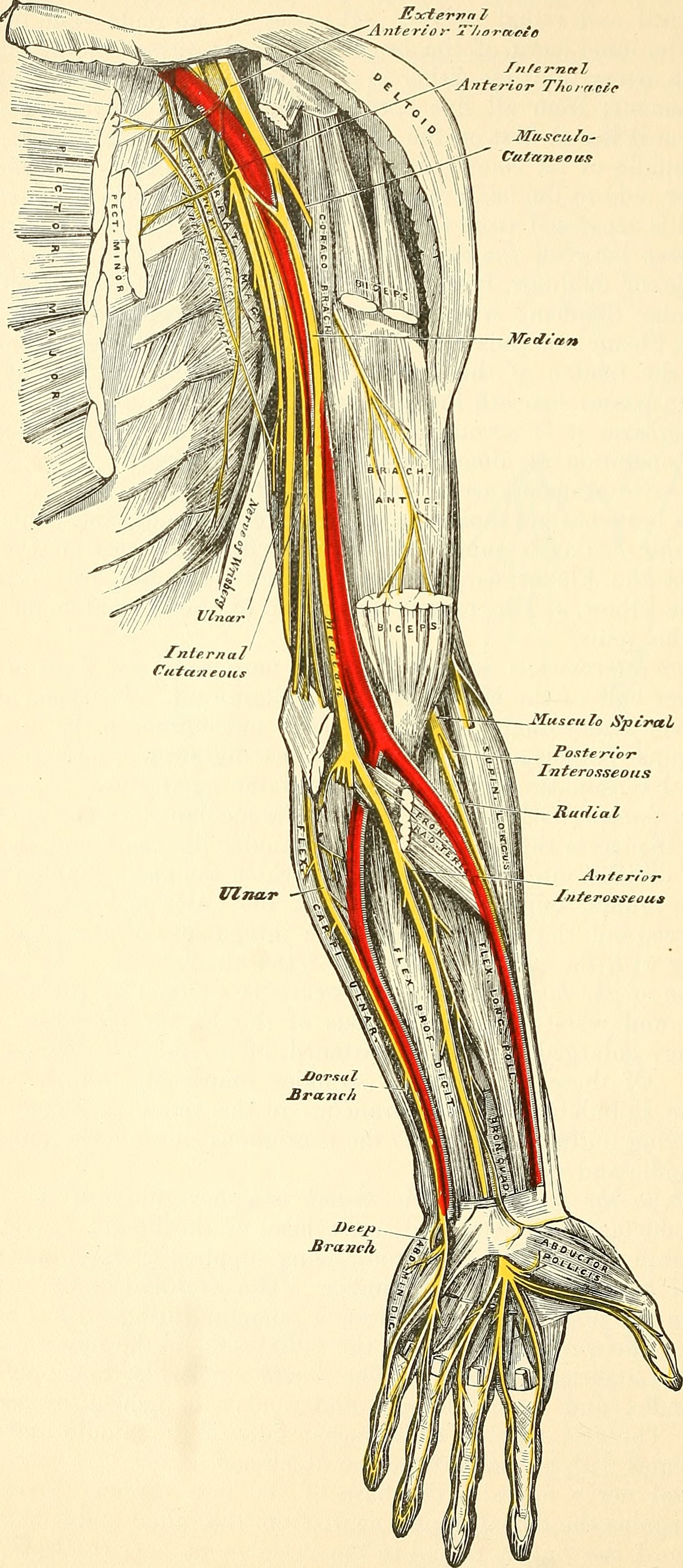 File:Anatomy, descriptive and surgical (1887) (14763598044).jpg ...