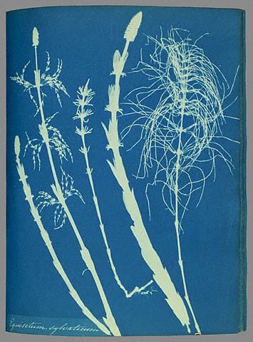 A cyanotype photogram of Woodland horsetail (Equisetum sylvaticum) made by Anna Atkins and Anne Dixon in 1853, from their book <em>Cyanotypes of British and Foreign Ferns</em>